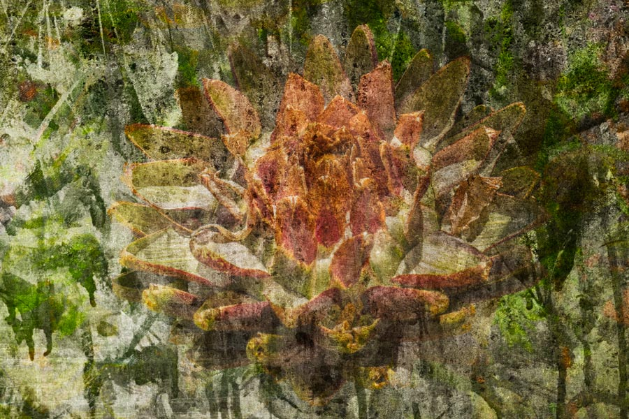 Blossoming Artichoke, Sonoma Valley ref# 20150782_fresco