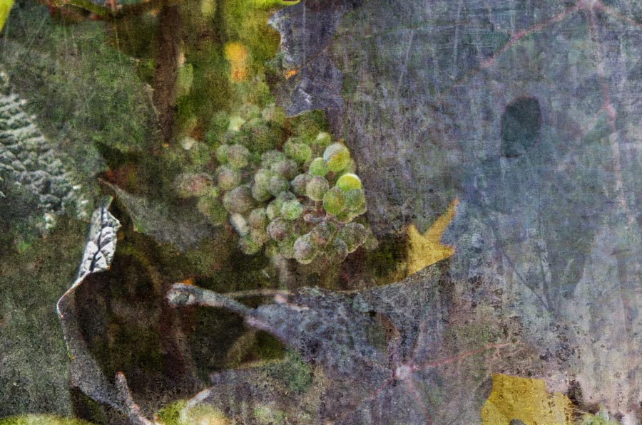 Grapes of the Vine 2015 Sonoma Valley ref# 20150803_fresco